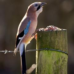 Jay - Garrulas glandarius (welshmanwandering1) Tags: birds wales eos jay wildlife cardiff crows forestfarm canon1dmark3