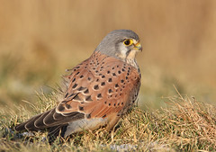 Kestrel (Pepijn Hof) Tags: winter bird eye nature field birds animal canon nederland natuur falcon kestrel vogel falco torenvalk 300mmf4 falcotinunculus 40d avianexcellence coth5 blinkagain 5wonderwall