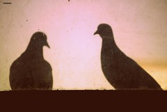 164/365. Valentines. (Anant N S) Tags: camera india abstract art texture love vintage photography amazing cool nikon couple pattern pigeon background pigeons awesome picasa retro valentines conceptual nikkor pune valentinesday dirtywindow makinglove unbelievable artisticphotography 14feb in 55200 beautifulcouple coolpicture twopigeons project365 happyvalentinesday beminevalentine d3000 ffffound lonesomeday lensor anantns thelensor anantnathsharma
