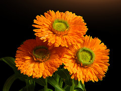 The Amen of nature is always a flower (*Gitpix*) Tags: flowers light orange flower color macro green nature yellow licht three petals nikon blossom natur blumen gelb coolpix trio grn blume makro blte bltenbltter beleuchtung gettyimages farben drei blten calendulaofficinalis ringelblume potmarigold mygearandme mygearandmepremium mygearandmebronze