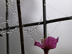 Pearls and Cherry  (olvwu | ) Tags: pink mist mountain flower net fog fence cherry leaf spring iron farm web spiderweb hsinchu taiwan drop bark valley fallen pinkflower droplet cherryblossom sakura bud   prunus      hsinchucounty   rosaceae cherryblossomviewing   jungpangwu oliverwu oliverjpwu flickrexplore  taiwancherry  prunuscampanulata wufong   olvwu mountainviewresort   prunuscampanulatamaxim jungpang  wufongtownship formosancherrytree
