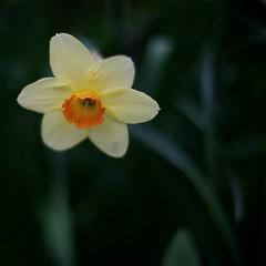 _IAW5655 (IanAWood) Tags: mygarden daffodils rickmansworth flowersofspring d3s afsnikkor50mmf14g walkingwithmynikon