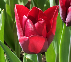 Seeing Red ! (Blossom's Mom.(Sheila Hess)) Tags: flowers red garden flora tulip april 2014 masterphotos