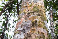 Tree Bark 0533 (Ursula in Aus (Resting - Away)) Tags: fern sumatra indonesia unesco bukitlawang gunungleusernationalpark earthasia