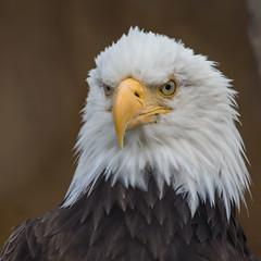 Bald Eagle (OlegSokol) Tags: travel usa bird animal alaska zoo eagle baldeagle