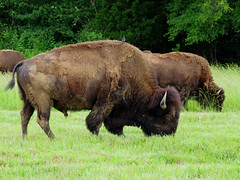 American Bison (Hawai'i Naturalist) Tags: ranch rural buffalo tennessee country bison americanbison