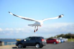 Soaring (Ptolemy the Cat) Tags: bird beach seaside bokeh seagull gull queenscliff nikond600 nikonf282470mmlens