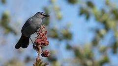 Red Jewel (Rich Parkinson) Tags: bird nature nikon sumac d500 catbird graycatbird nikond500 nikkor300mmf28vrii