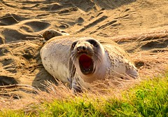 Northern Elephant Seal (C Aveni) Tags: california beach seal sansimeon openmouth pacificcoast elephantseal molting rt1