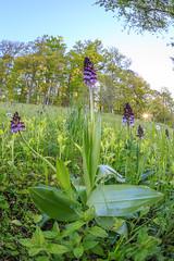 Orchids blooming (Siegfried Tremel) Tags: nature naturallight sigma15mmf28exdgdiagonalfisheye wideanglemacro orchispurpurea purpurknabenkraut canoneos6d