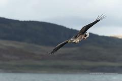 White Tailed Sea Eagle (Louise Morris (looloobey)) Tags: boat martin eagle mull whitetailed seaeagle lochnakeal whitetailedseaeagle barndoors ladyjayne mullcharters april2016 aq7i8926 eaglewiththesuninitseyes