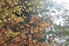 Acer Palmatum 'Higasayama' (Pattern Interrupt) Tags: spring maple japanesemaple acer  oxfordshire palmatum    batsfordaboretum higasayama visitbatsford