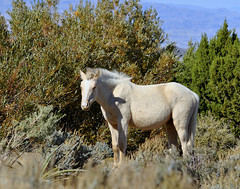 DSC_2623 (Eleu Tabares) Tags: wild desert outdoor wildlife nevada mustang coldcreek
