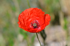 Young red (dfromonteil) Tags: red flower macro fleur rouge spring bokeh poppy printemps coquelicot