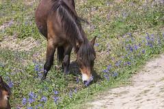 Ponies, Hastings Country Park (ghostwheel_in_shadow) Tags: wild england horse flower mammal sussex flora europe unitedkingdom pony hastings bluebell eastsussex vertebrate hastingscountrypark englandandwales