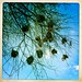 Bird nests thru Iphone Hipstamatic - Somaliland