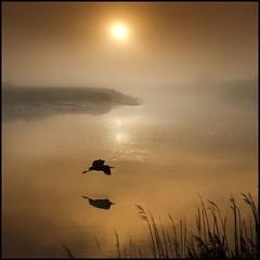 On Silent Wings (adrians_art) Tags: mist water birds silhouette fog sunrise reflections reeds wings flight riverbank grayheron