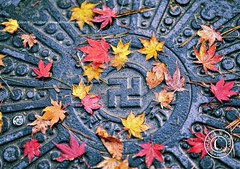 Manhole Cover in Hirosaki Japan.  Glenn Waters. Explored.  Over 15,000 visits to this photo. (Glenn Waters in Japan.) Tags: autumn japan nikon swastika explore manhole hirosaki  wan   manji  hakenkreuz   gammadion  explored   d700 nikond700  glennwaters  tetraskelion nikkor85mmf14g nikkorafs85mmf14g