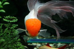 106 (Maryam J S) Tags: red fish aquarium redhead aquariumfish