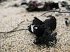 (Emma Catherine Simpson) Tags: california sea usa seaweed macro beach sand weed canonpowershotsx110is