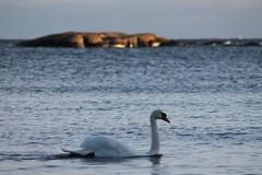 Swan (Cygnus olor) (Jonis) Tags: sea suomi finland swan hanko cygnusolor hang kyhmyjoutsen syksy2011