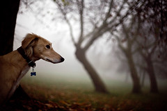 Hound waits for but a mo before striking... (teddave) Tags: squirrel strike n30 saluki brockwellpark
