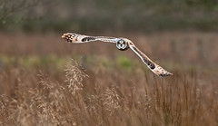 Skimming The Grass!!    (Short Eared Owl) (marsch1962) Tags: bird nature flying wildlife owl stare prey raptors skimming shortearedowl thewonderfulworldofbirds