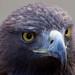 Golden Eagle 1c