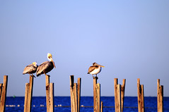 (MPhotos07) Tags: blue sky gulfofmexico water st nikon pelican marks clear d5000 55300mm