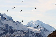 Blackbirds and white mountains (Elysium 2010) Tags: snow mountains alps ice birds landscapes montblanc aiguilleverte highmountain corvidea chocards