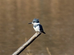 Belted Kingfisher in Distance (Mr.TinDC) Tags: bird water birds animals washingtondc dc wildlife kingfisher marsh kenilworth beltedkingfisher kenilworthaquaticgardens kingfishers megacerylealcyon