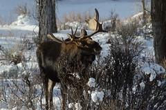 Shiras Moose (Alces alces shirasi) D7K_9588 (NDomer73) Tags: november moose tetons better grandtetonnationalpark 2011 shirasmoose 23november2011