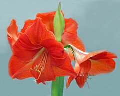 Amaryllis (njchow82) Tags: flowers red plant flower nature beautiful closeup petals petal amaryllis lovely sepals sepal beautifulexpression exceptionalflowers canonpowershotsxis nancychow