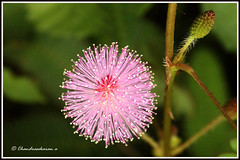 1819  mimosa pudica (chandrasekaran a 530k + views .Thanks to visits) Tags: flowers india nature mimosa chennai adyar touchmenot pudica theosophicalsociety canon60d   chandrasekarana