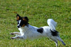 Maxx running (Pappup2010) Tags: dog pet white black color cute animal butterfly puppy toy small tan ears canine running papillon tricolor pup breed tri pap toybreed  butterflydog