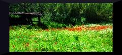 La vita  come la musica (Ska * mon) Tags: flowers red verde green poppies fiori rosso prato papaveri