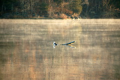 See-saw (hickamorehackamore) Tags: statepark morning november autumn fall misty reflections river connecticut seagull foggy meadows ct driftwood ctriver connecticutriver haddam haddammeadows