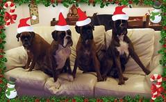 Buon Natale (deboh76) Tags: christmas xmas dog pet cane navidad boxerdog crew bunch boxer merrychristmas natale gruppo merryxmas feliznavidad buonnatale mucchio canidi patafruttoli boxercrew deborahguerra deboh76
