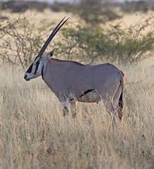 "Beisa Oryx      Oryx beisa (Graham Ekins) Tags: africa mammal ethiopia beisaoryx oryxbeisa canon1dmkiv grahamekins ""canon400mmf4isaf"" ""awashnationalpark"" ah9k4060"