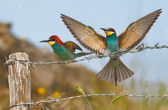 Mani in alto! (Formha) Tags: colors birds canon 7d beeeater 400mm thewildlife gruccione nginationalgeographicbyitalianpeople fabioleo formha mothernaturesgreenearth