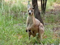 Roo (Fraser Mummery) Tags: park wood trees nature grass leaves animals bush scenery path wildlife branches australia bark antipodean