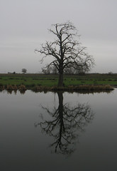 Ely tree reflection
