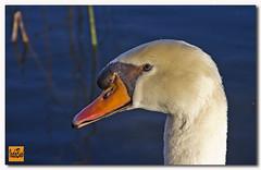 L'Estany de Banyoles-Cisne (vadobuch) Tags: animal de natura girona cisne pla banyoles lestany vadobuch