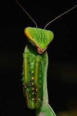 Juvenile Giant Asian Mantis (Hierodula sp., Mantidae) (John Horstman (itchydogimages, SINOBUG)) Tags: macro insect china praying mantis green black itchydogimages sinobug yunnan aminus tumblr nymph top mantidae