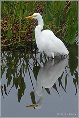 Great Egret (Kevin B Photo) Tags: morning winter wild plants usa white plant color reflection green bird nature wet water beautiful beauty birds vertical closeup america canon reflections outdoors photography one wings colorful day alone exterior unitedstates graphic feeding florida native wildlife south wing peaceful calm created southern wetlands vegetation manmade daytime fl marsh wade southeast wintertime winged egret avian wading wetland viera serenitynow alligatorflag wowiekazowie 100ypl birdperfect