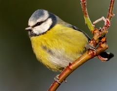 Blue Tit on a frosty morning (polarlow) Tags: birdperfect