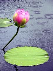 A Lotus Blossom in the Soft Summer Rain (Eddie C3) Tags: nyc newyorkcity pink flowers water rain lotus blossom bronx bloom nybg newyorkbotanicalgarden indianlotus sacredlotus nelumbonucifera beanofindia