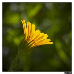 Desplegada (oZopanda - David Cvico) Tags: flowers flores macro nature yellow canon amarillo 60mm 550d mygearandme mygearandmepremium mygearandmebronze mygearandmesilver flickrstruereflection1 thisphotoisyatbsgroupwinner