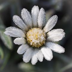 daisy (westhues) Tags: flower macro ice nature beauty frost daisy blume mygearandme ringexcellence flickrstruereflection1 flickrstruereflection2 flickrstruereflection3 flickrstruereflection4