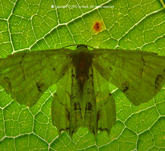 """T""ransparency (kwai) Tags: t moth backlighting tansparency"